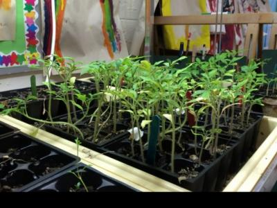 Seedlings for the winter garden at Pikeville Elementary School